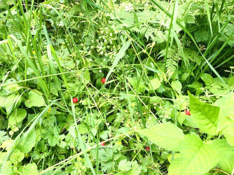 Erdbeeren im Wald